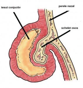 cornet nazal-anatomie